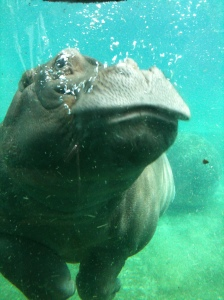 Here is a cute picture of a baby hippo I took at the San Diego Zoo... for no reason other than it is sometimes good to look at cute pictures of baby hippos.