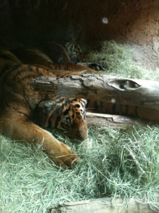 I have no good pictures to include with this entry, so here's a picture I took of a tiger at the San Diego zoo last year.